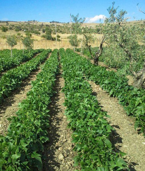 fagiolino-verde-agricolo